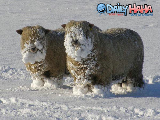 Sheep_snowface